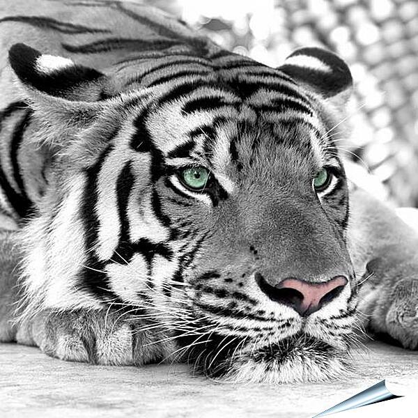 Плакат на стену - Зеленоглазый тигр