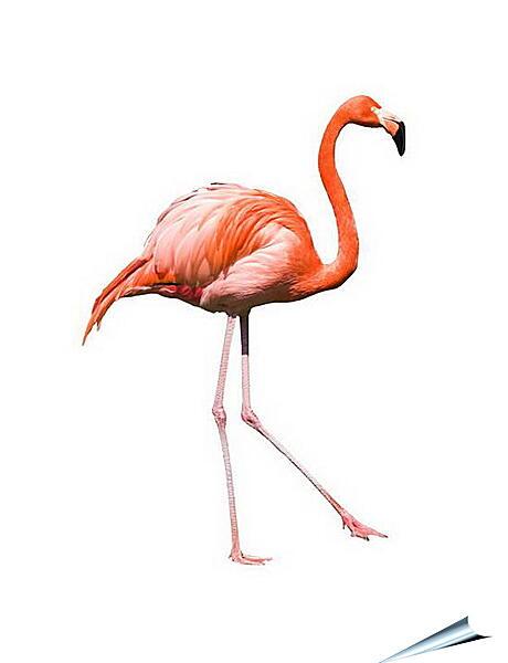 Плакат на стену - Фламинго