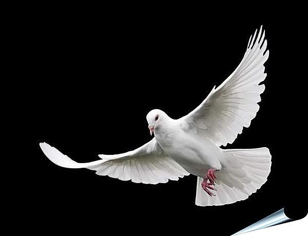 Плакат на стену - Белый голубь