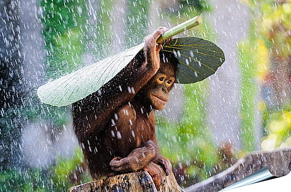 Плакат на стену - Обезьянка прячется от дождя