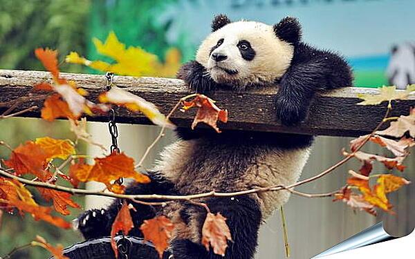 Плакат на стену - Панда