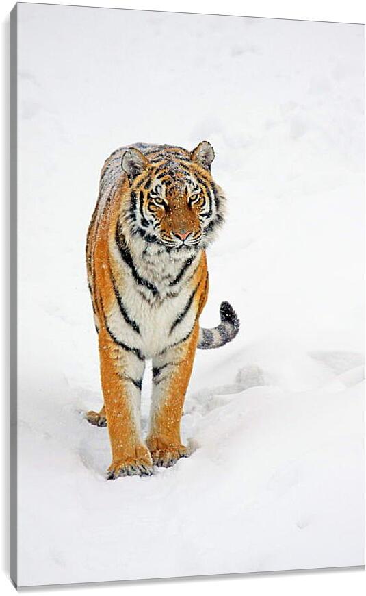 Тигр на снегуЖивотные<br>Модульная картина из 3 частей . Любые размеры и конфигурации на выбор. Материал печати: натуральный холст.<br>Размер: 60x90 см., 80x120 см., 100x150 см.;