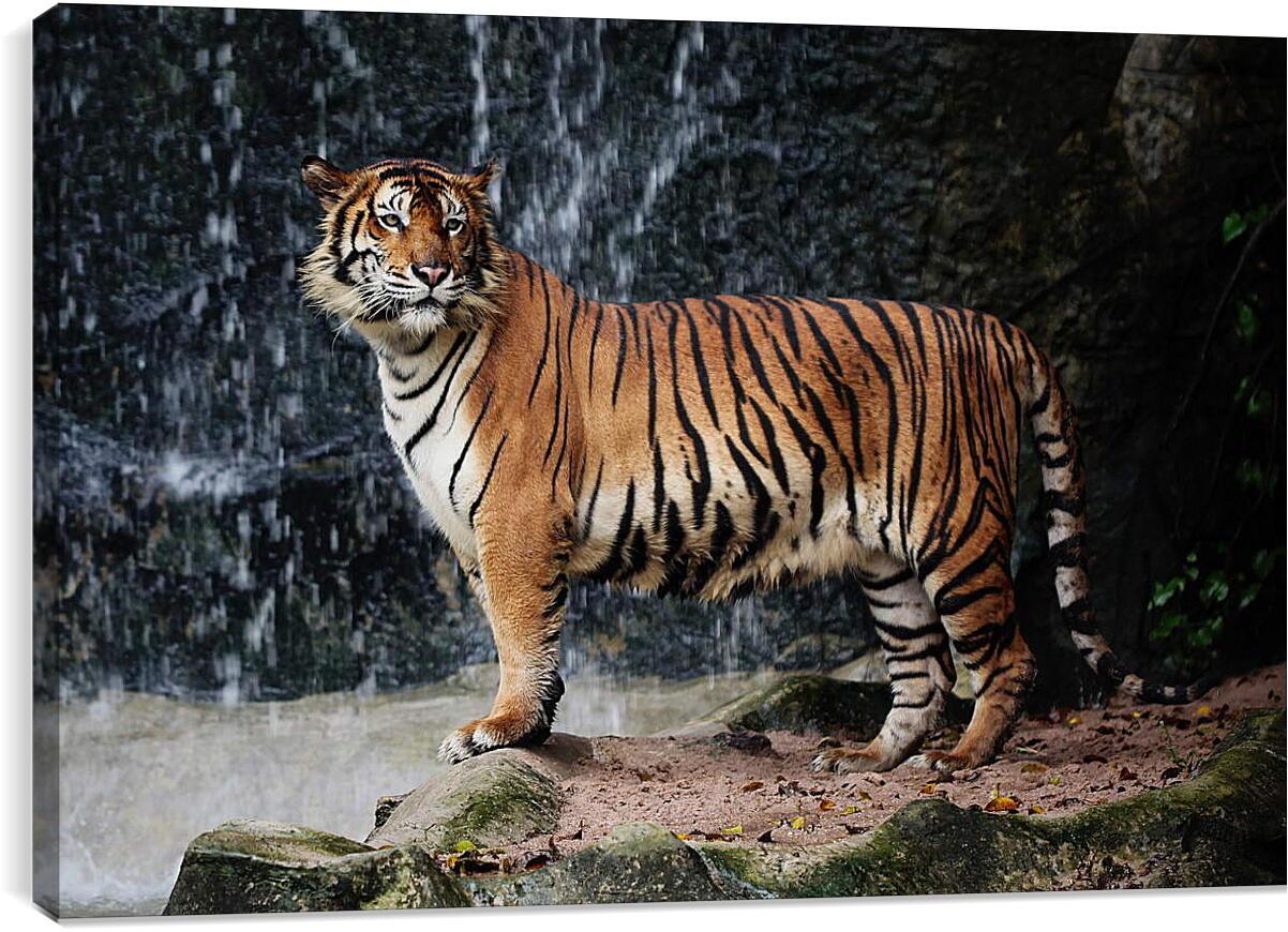 Тигр и водопадЖивотные<br>Модульная картина из 4 частей . Любые размеры и конфигурации на выбор. Материал печати: натуральный холст.<br>Размер: 90x60 см., 120x80 см., 150x100 см.;